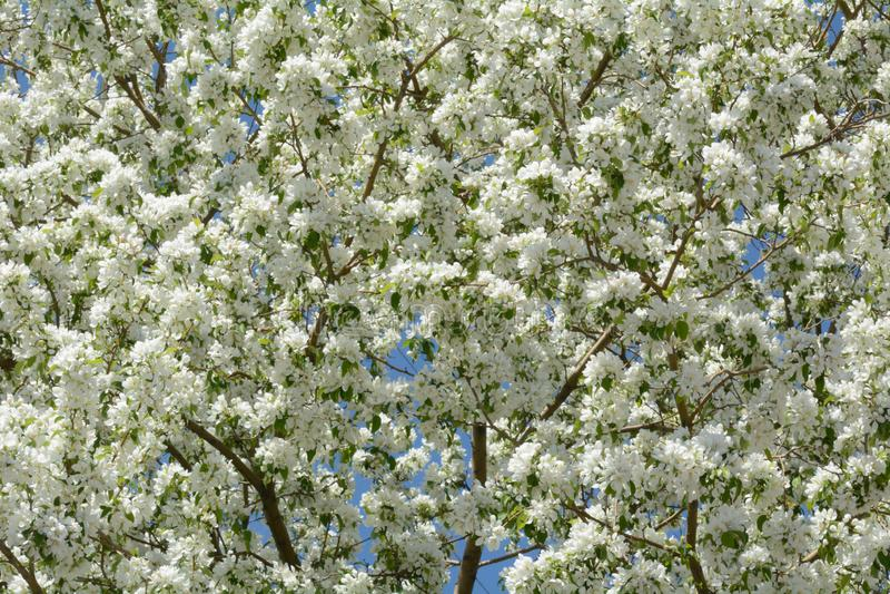Witte crabapplebloemen stock afbeelding