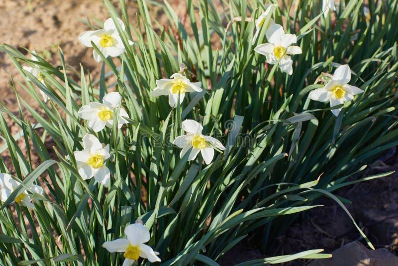Witte daffodilbloemen in de lente Daffodil of Narcissus, royalty-vrije stock fotografie