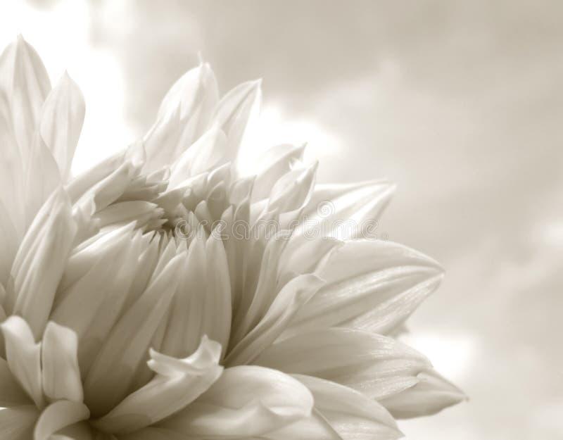 Witte Dahlia stock afbeelding