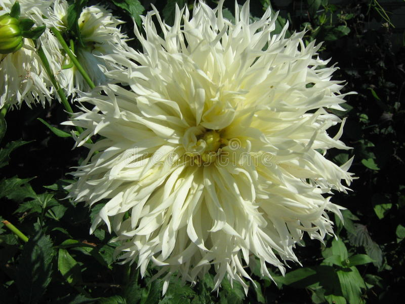Witte Dahlia die in de de zomertuin bloeien stock fotografie