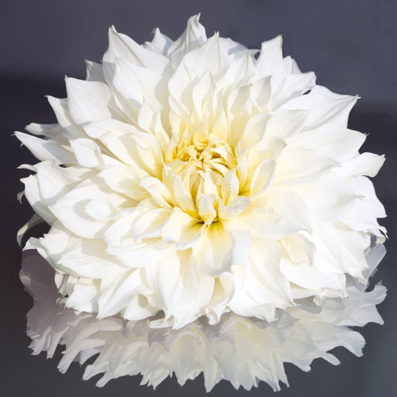 Witte Dahlia royalty-vrije stock afbeeldingen