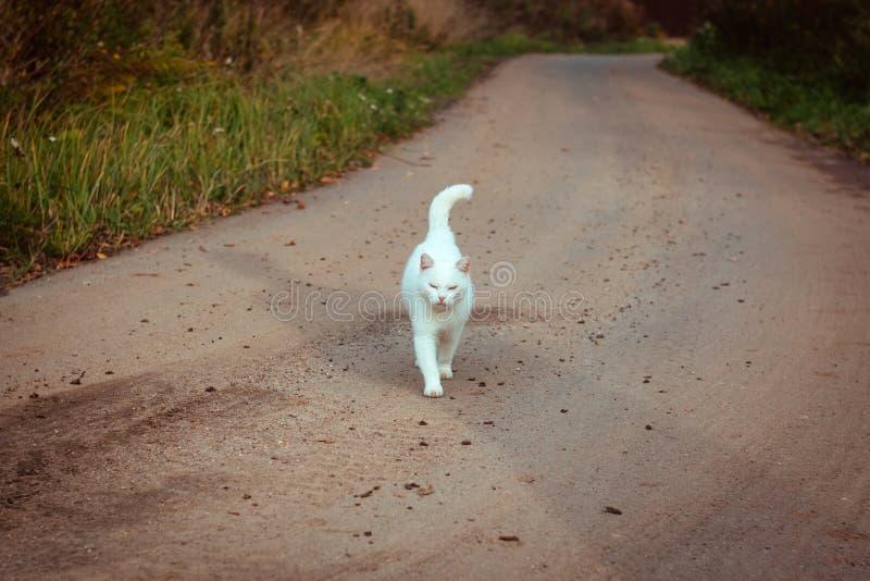 Witte dakloze mooie kat die op de weg, het staren en het loensen lopen Een eenzame verdwaalde kat zoekt een huis en een eigenaar royalty-vrije stock fotografie