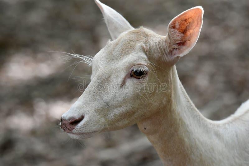 Witte Damherten stock foto