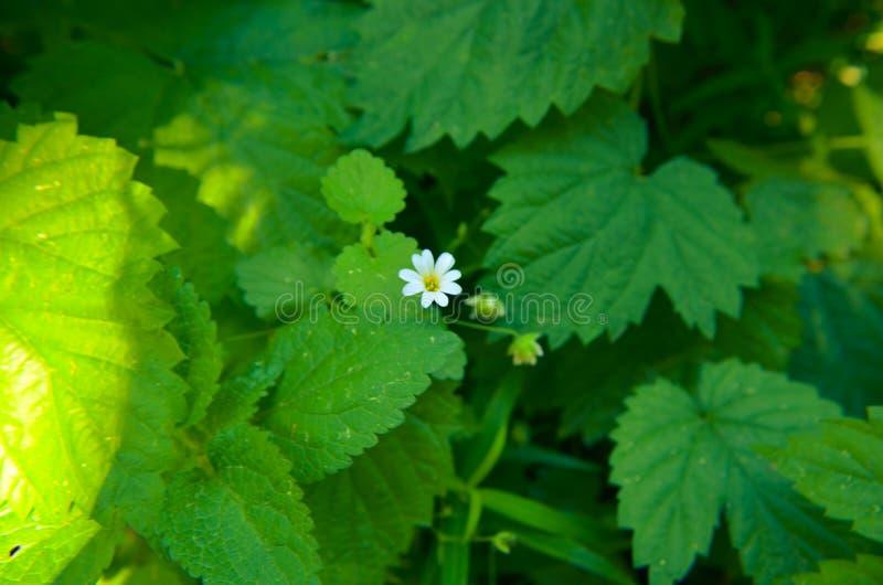 Witte de bloemenachtergrond van de lenteasperula graveolens royalty-vrije stock afbeelding