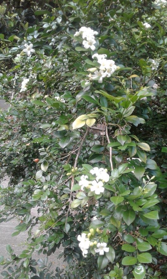 Witte de Boom Groene bladeren van Bloem Tropische Kemuning stock afbeeldingen