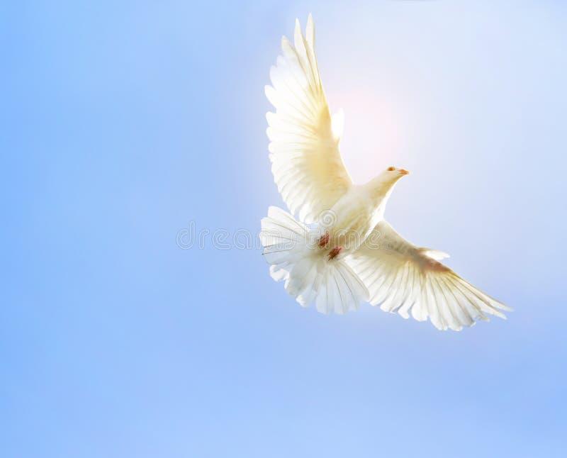 Witte de duifvogel die van de veervleugel medio lucht vliegen tegen duidelijk blauw royalty-vrije stock fotografie