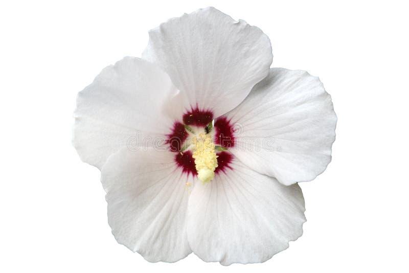 Witte de hibiscus nam van Rode het Hart` bloem van Sharon ` toe royalty-vrije illustratie