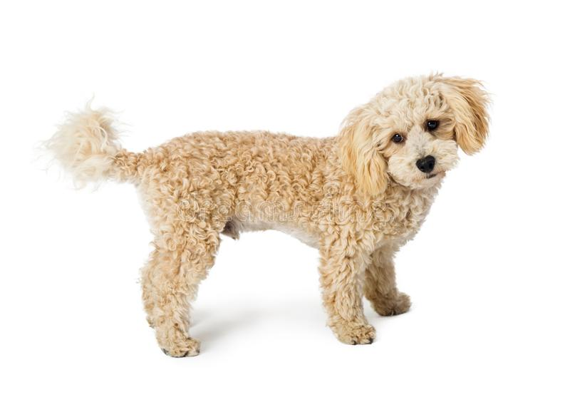 Witte de Hond Bevindende Partij van de Poedelkruising royalty-vrije stock afbeelding