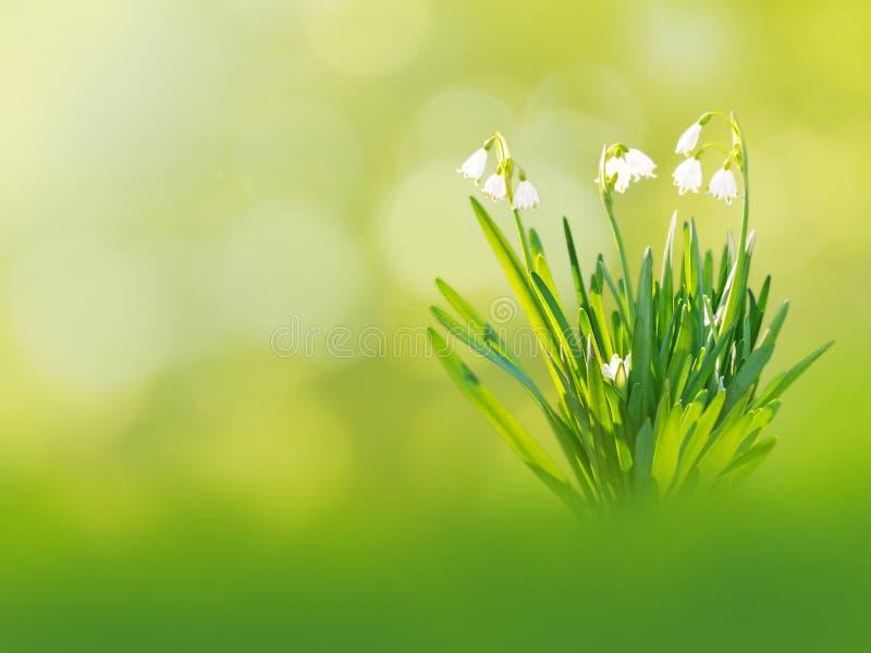 Witte de lenteachtergrond van sneeuwklokjebloemen royalty-vrije stock fotografie