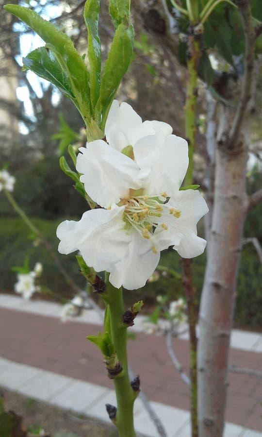 Witte de lentebloem stock foto's