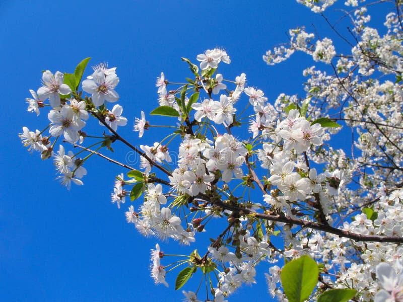 Witte de lentebloemen stock afbeeldingen