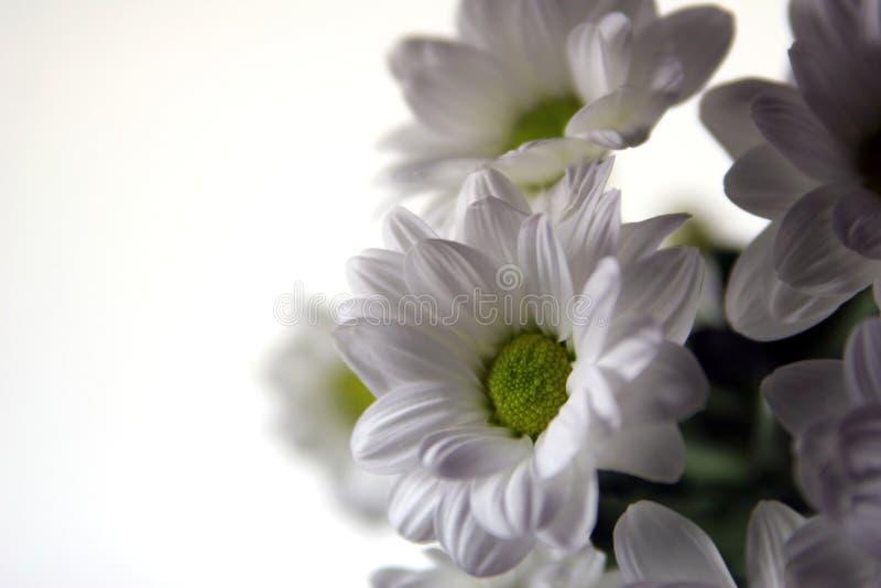 Witte de lentebloemen stock foto