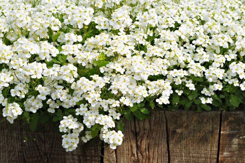 Witte de lentebloemen en houten omheining stock foto's