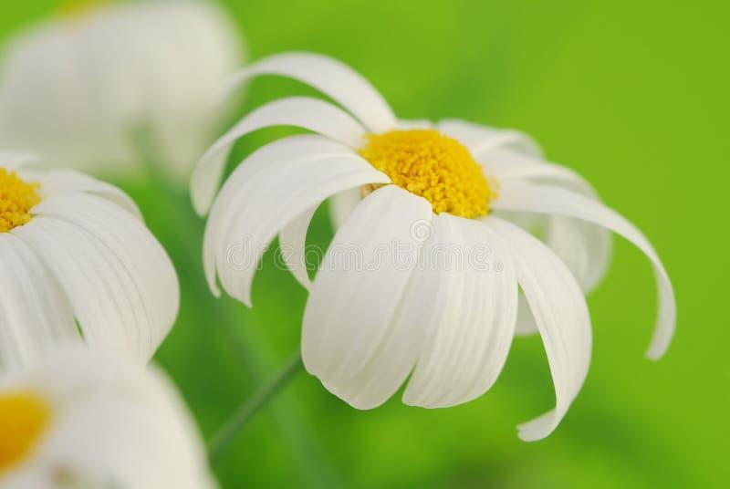 Witte de lentemargriet stock foto's
