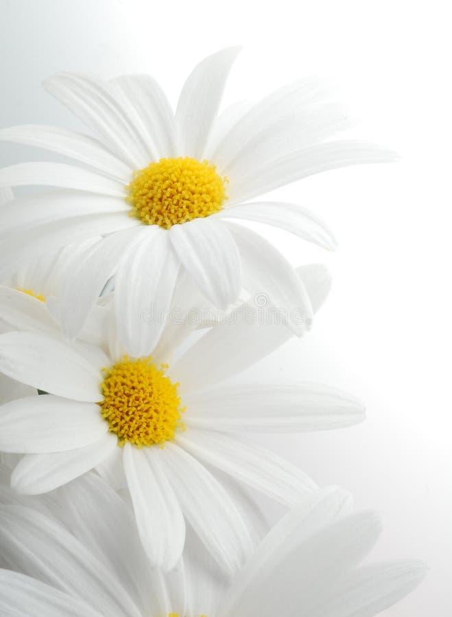 Witte de lentemargriet stock afbeeldingen