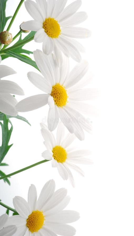 Witte de lentemargriet stock fotografie