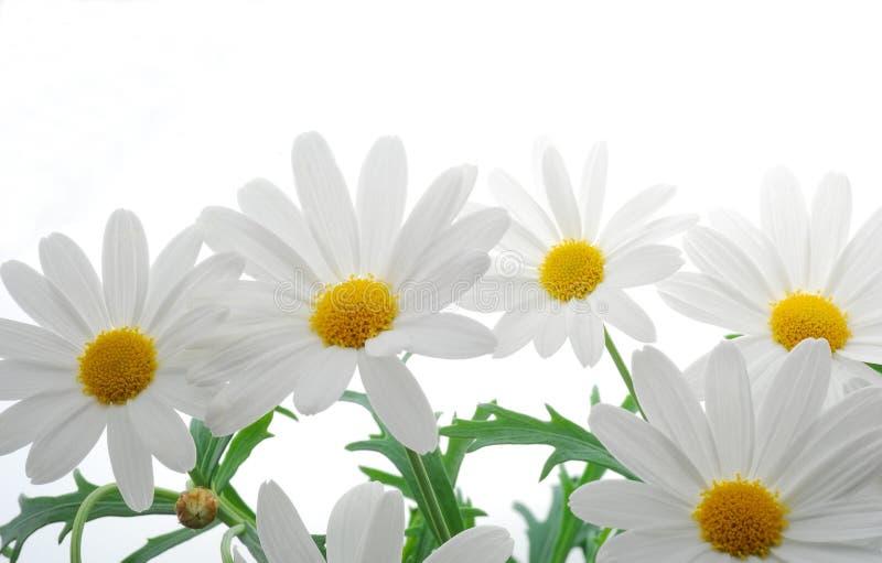 Witte de lentemargriet royalty-vrije stock foto