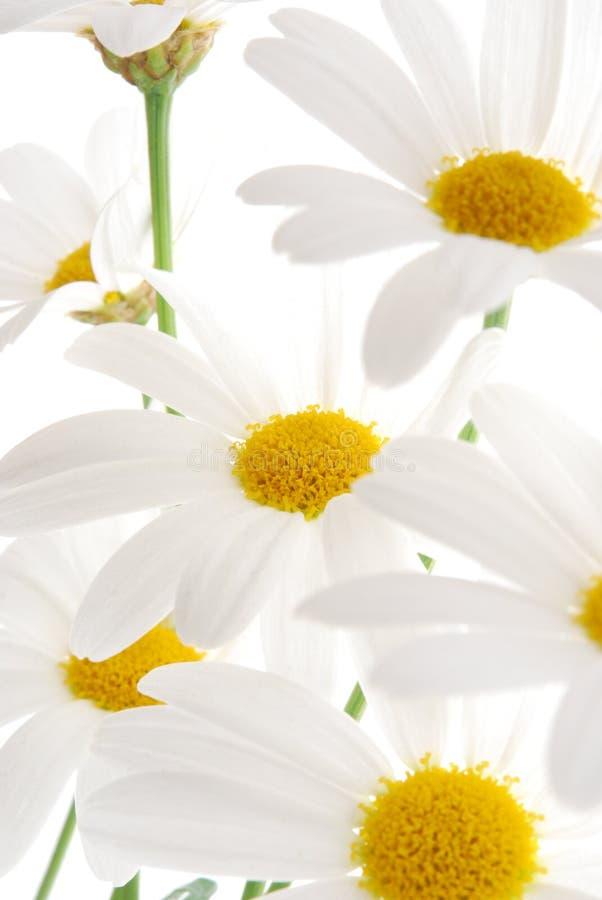 Witte de lentemargriet stock foto