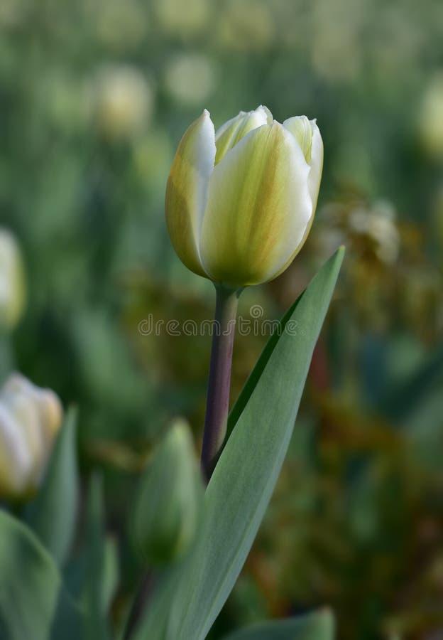 Witte de lentetulp met groene aders tegen bokeh royalty-vrije stock afbeeldingen