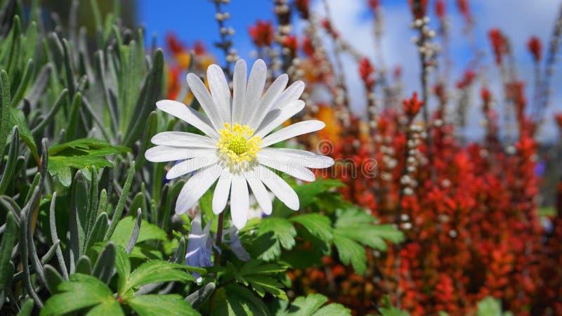 Witte de Prachtbloem van anemoonblanda op kleurrijke installaties en blauwe hemel dichte omhooggaand als achtergrond royalty-vrije stock foto