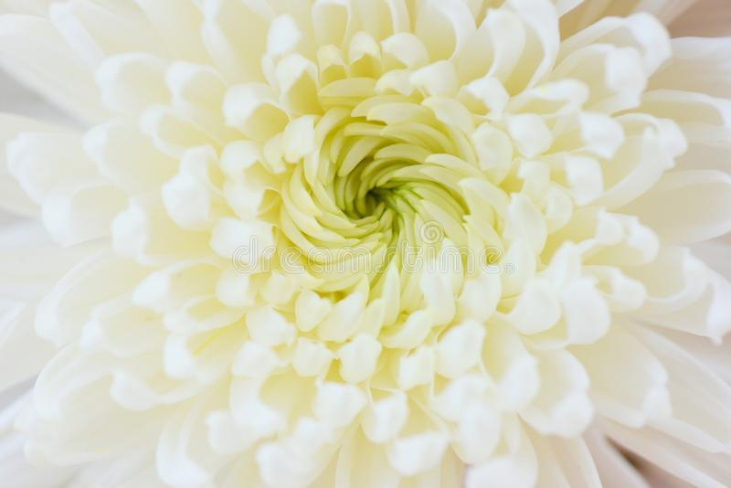 witte de textuurachtergrond van de bloemchrysant stock foto