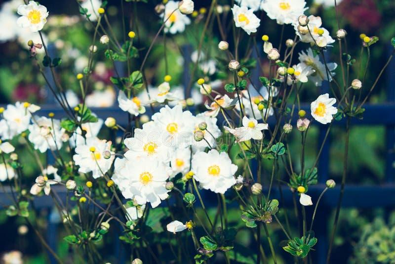 Witte de zomerbloemen royalty-vrije stock fotografie