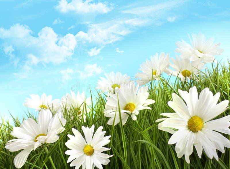 Witte de zomermadeliefjes in lang gras royalty-vrije stock afbeeldingen