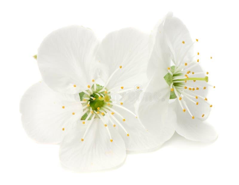 witte die bloemenbloesems op witte achtergrond worden geïsoleerd De gele Bloem van de Kers van de Kornalijn stock foto's