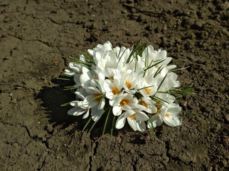 Witte die bloemkrokus, door de zon wordt aangestoken royalty-vrije stock afbeelding