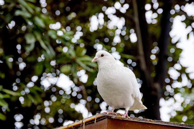 Witte die duif op een dak wordt neergestreken stock afbeeldingen