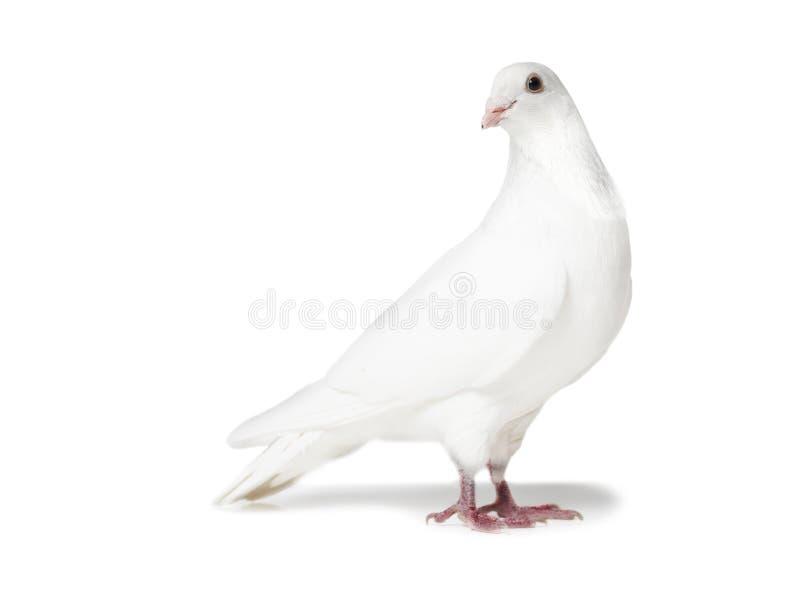 Witte die duif op wit wordt geïsoleerd royalty-vrije stock fotografie