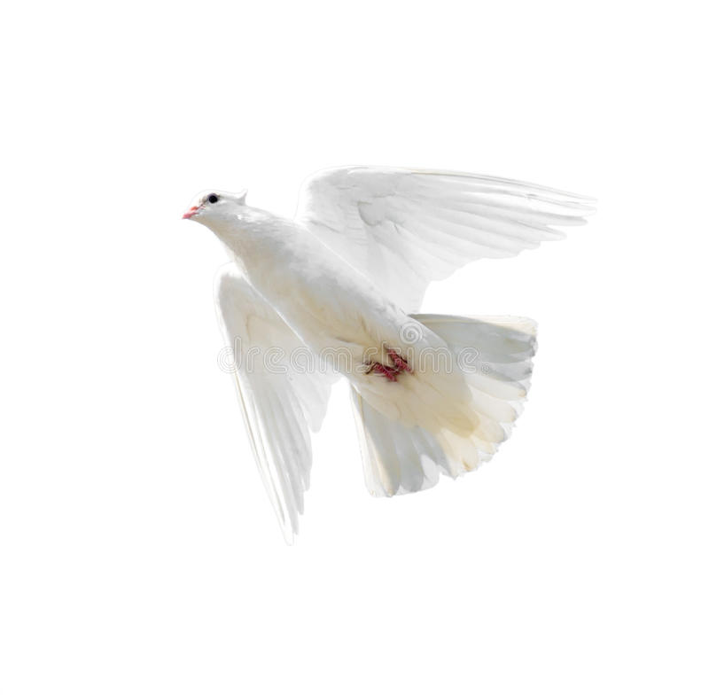 Witte die duif tijdens de vlucht op witte achtergrond wordt geïsoleerd royalty-vrije stock foto