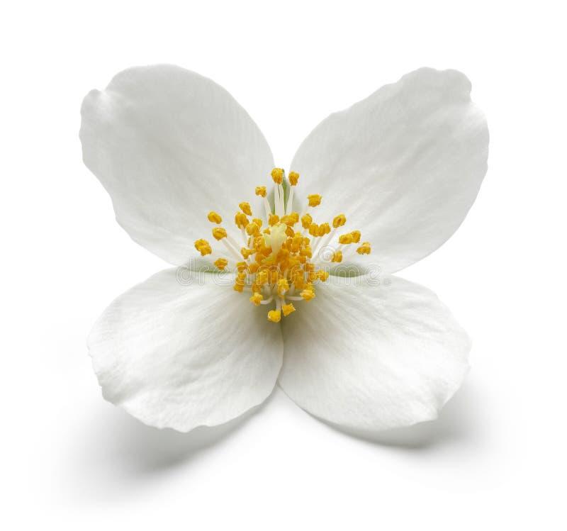 Witte die jasmijnbloem op wit wordt geïsoleerd stock fotografie
