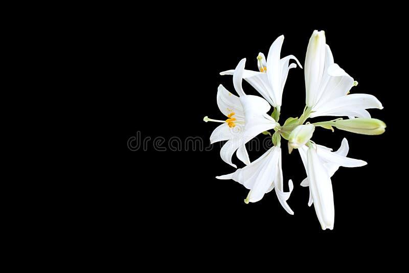 Witte die lelies op een zwarte achtergrond worden geïsoleerd stock afbeeldingen