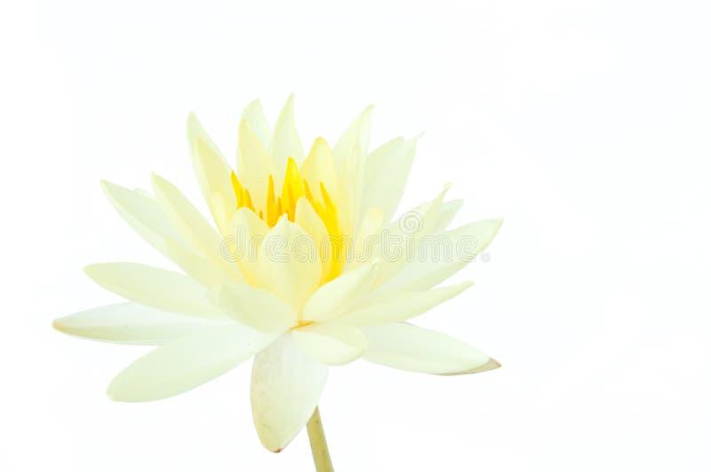 Witte die lotusbloembloem op witte achtergrond wordt geïsoleerd (waterlelie) stock afbeeldingen
