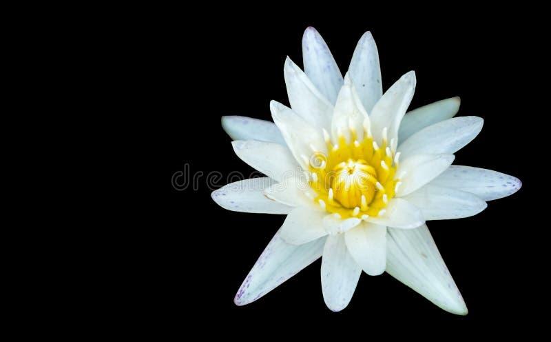 Witte die lotusbloembloem op zwarte achtergrond met exemplaarruimte wordt geïsoleerd stock fotografie