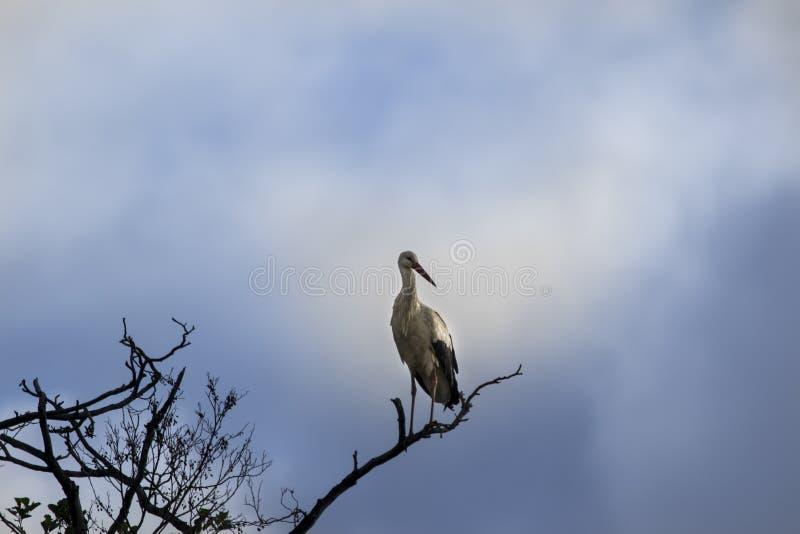 Witte die ooievaar op boombovenkant wordt neergestreken royalty-vrije stock foto's