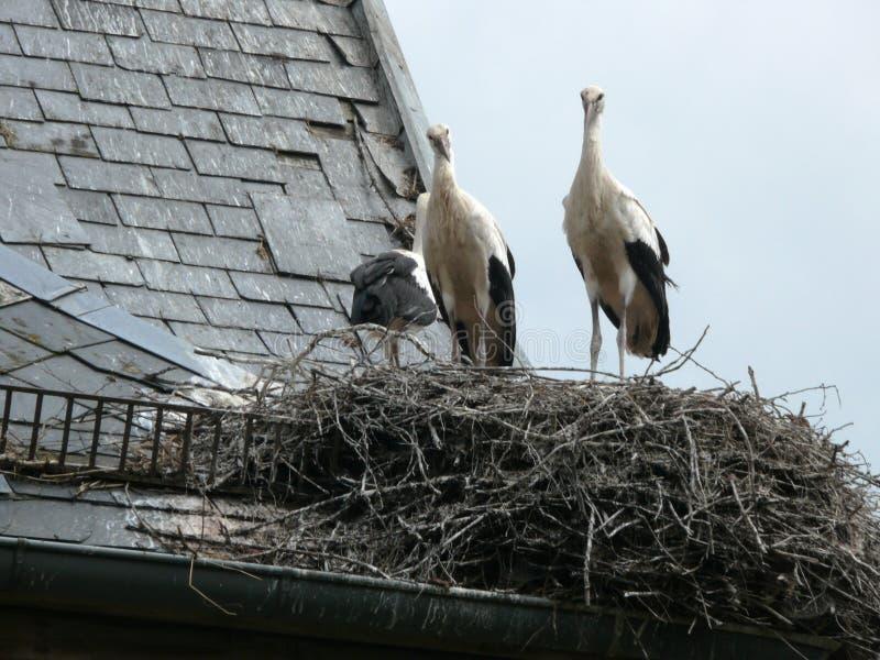 Witte die ooievaarsvleugels op zijn nest in Munster worden uitgespreid royalty-vrije stock afbeeldingen