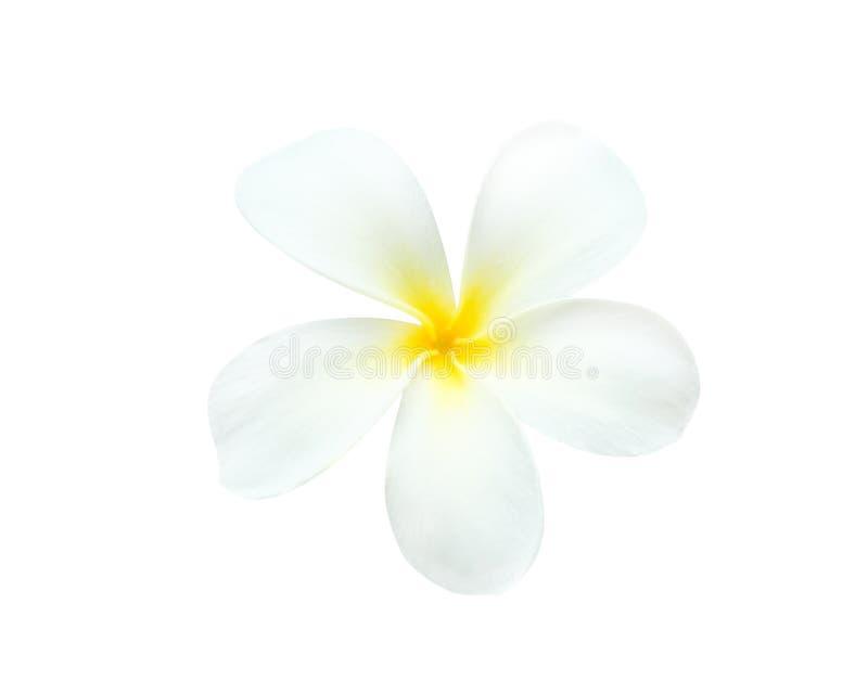 Witte die plumeriarubra bloeit het bloeien frangipani met waterdalingen op witte achtergrond worden geïsoleerd stock afbeeldingen