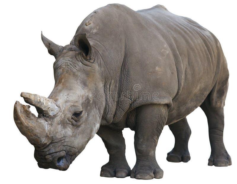 Witte die Rinoceros over wit wordt geïsoleerdi stock foto's