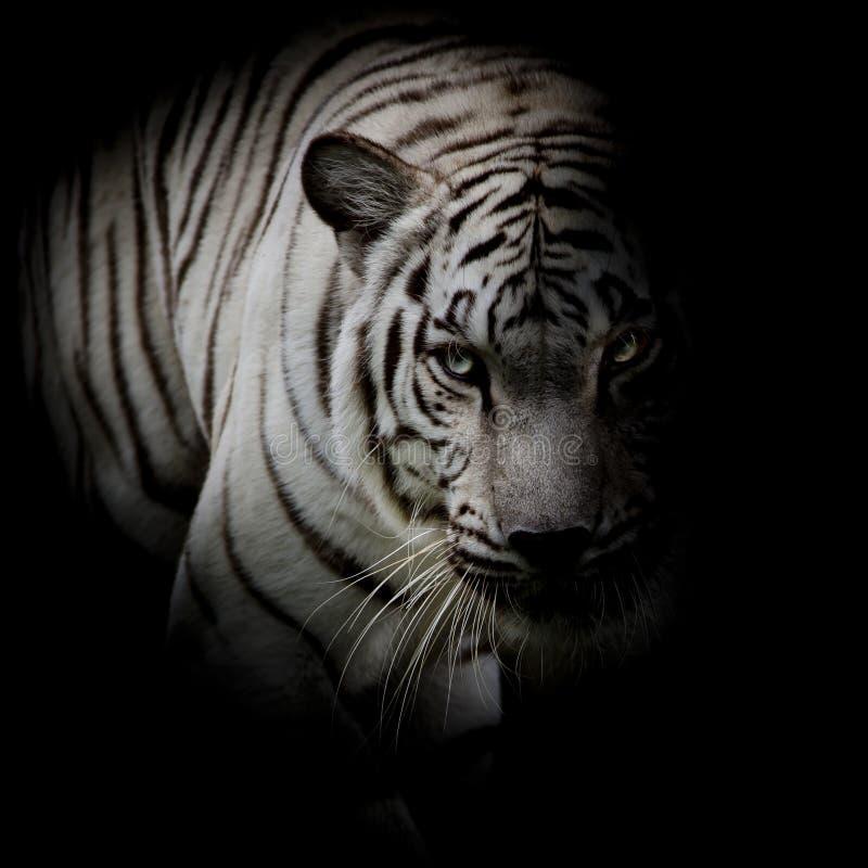 Witte die tijger op zwarte achtergrond wordt geïsoleerd royalty-vrije stock fotografie