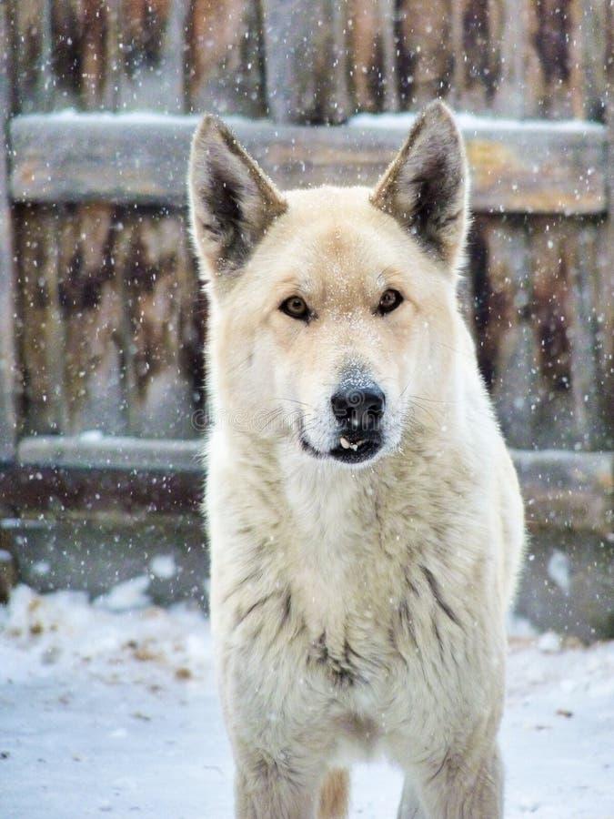 Witte dorpswaakhond met hoektand in de wintersneeuw royalty-vrije stock fotografie