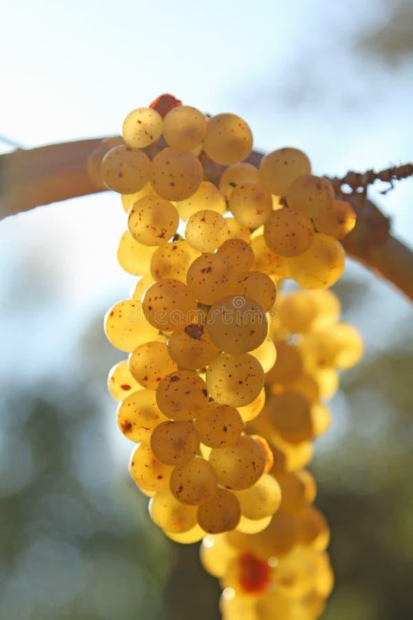 Witte druif royalty-vrije stock afbeeldingen
