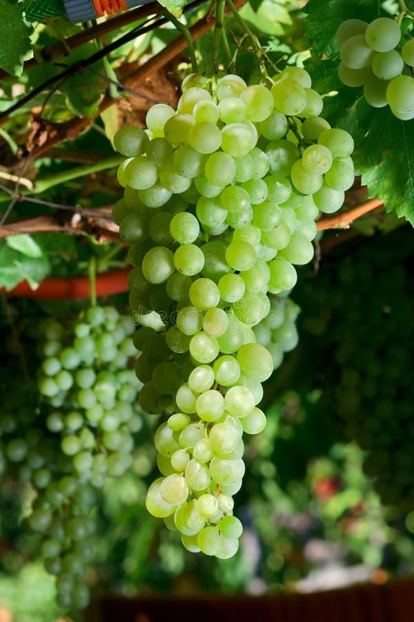 Witte druiven stock afbeeldingen