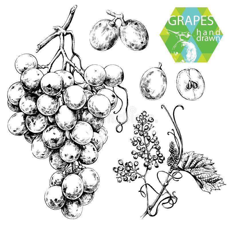 Witte druiven stock illustratie