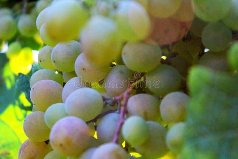 Witte druiven bij zonsondergang in een wijngaard stock foto