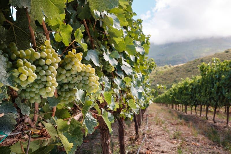 Witte druiven op het landschap van de zomerwijnstokken royalty-vrije stock fotografie