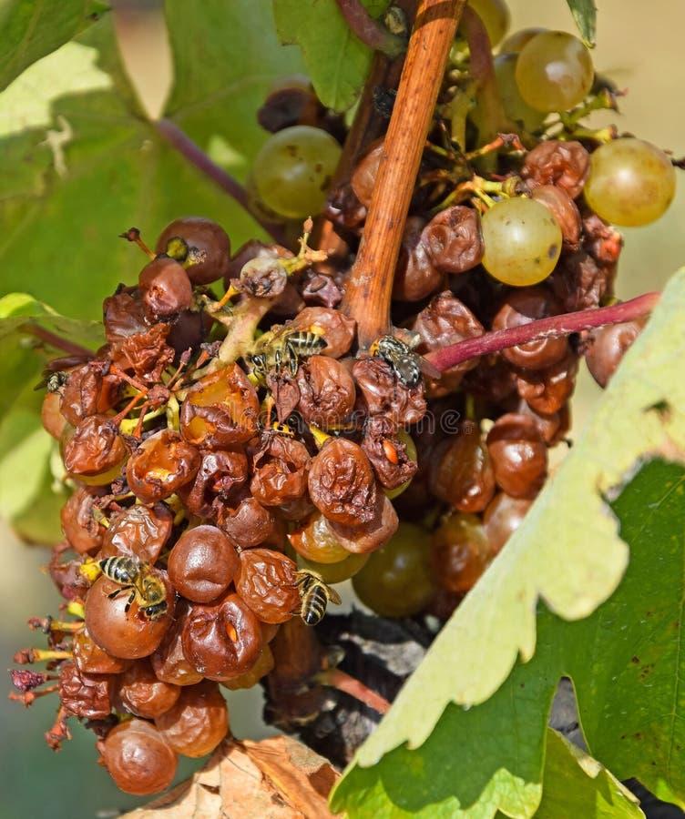 Witte druiven voor het maken van de tot beroemde wijn Hongaarse Tokaji Aszu stock afbeeldingen