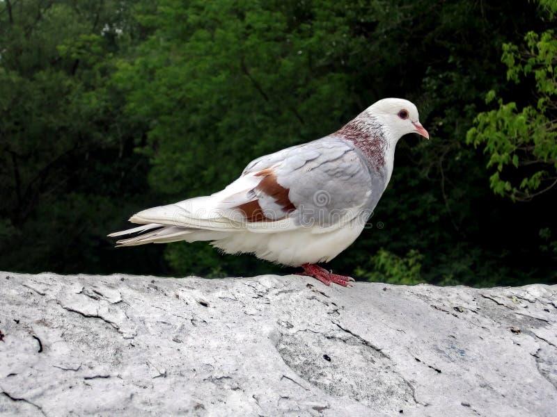 Witte duif royalty-vrije stock foto