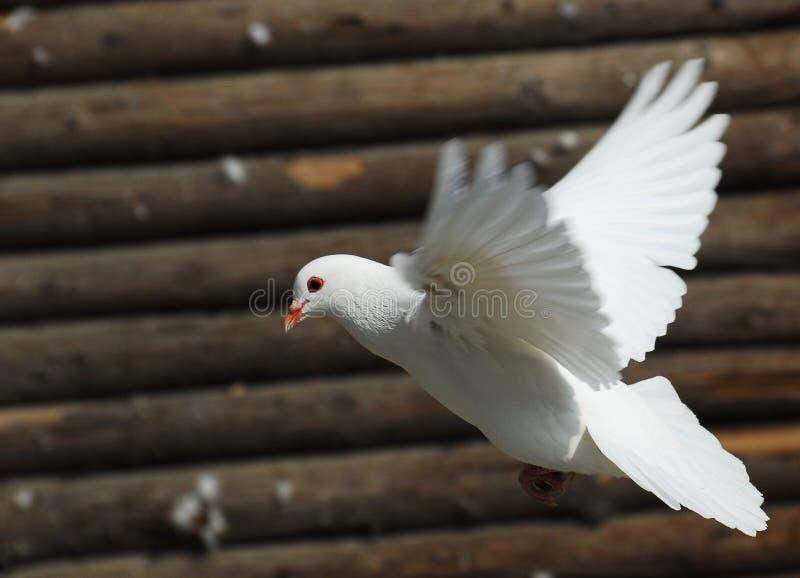 Witte Duif stock afbeelding